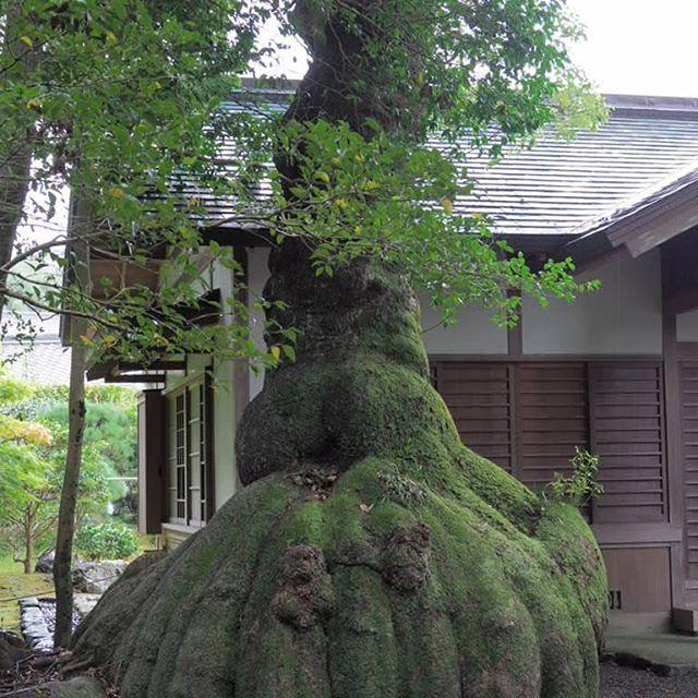 巾着袋の様な木の根#trip