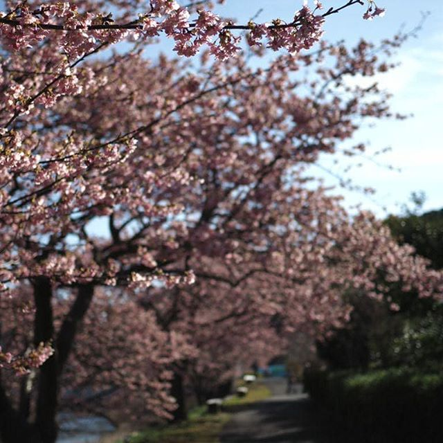 丁度満開です。#touring #河津桜まつり