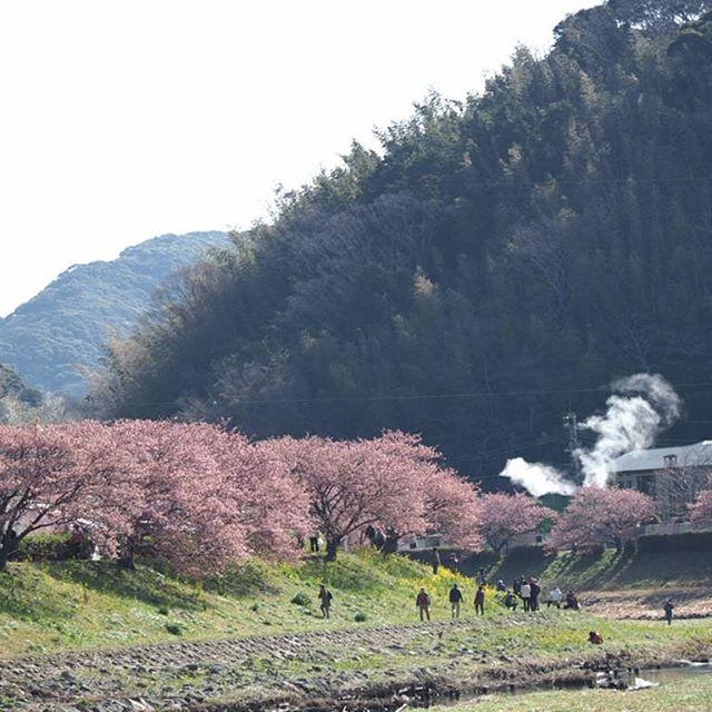 桜綺麗です。#touring #河津桜まつり