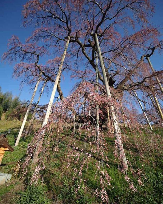 雪降ったので開花止まってる。。・゜゜(ノД`)#touring#三春滝桜