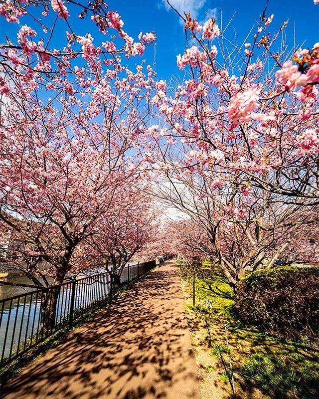 暇なので先月の河津桜の整理。#touringbike #河津桜まつり