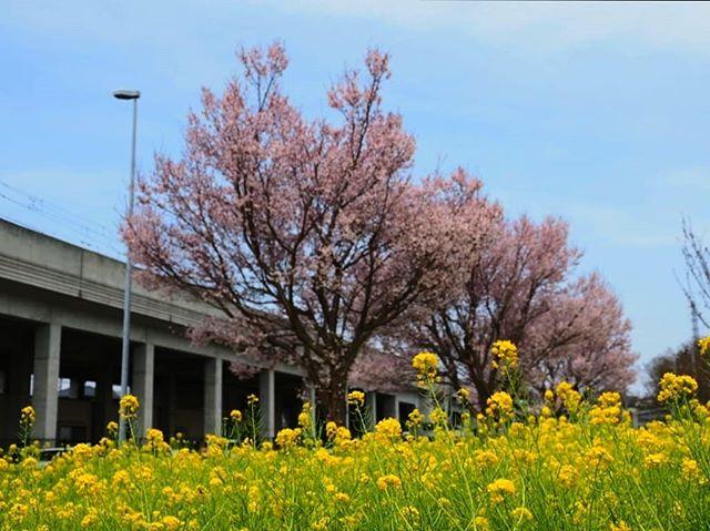 金曜日は咲いていなかったのに、二日で満開。#川和町駅#桜