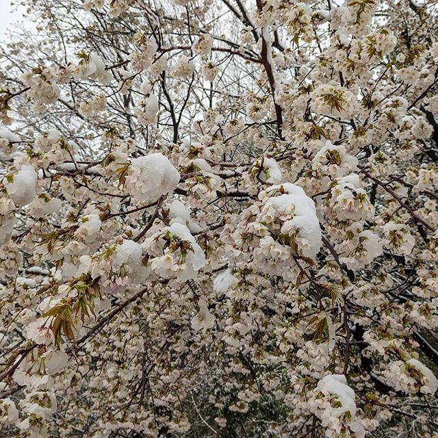 横浜で桜の花に雪が見れるとは思わなかった。#桜#何気ない風景